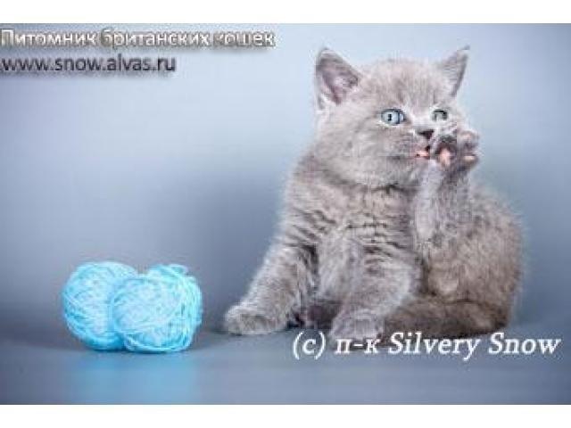 Где купить британского котенка - 2/2
