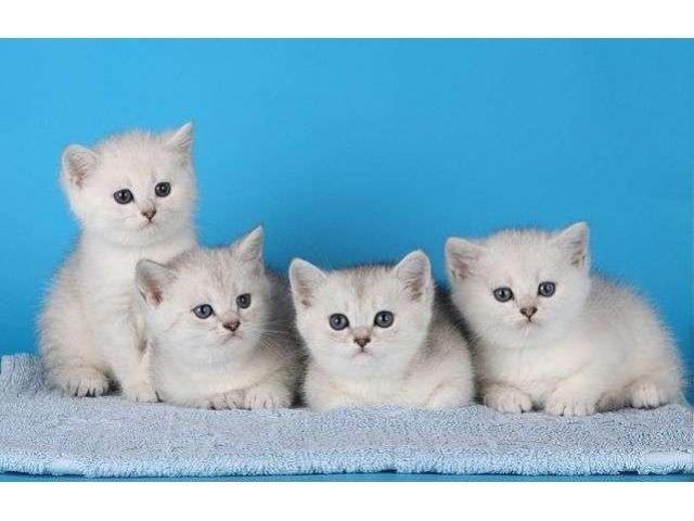 Продажа элитных британских котят в Чехии - 2/2